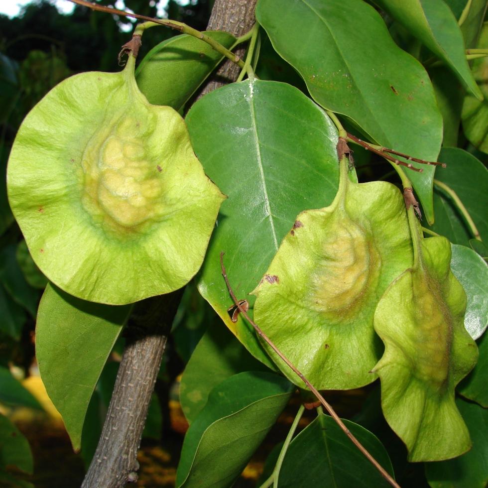See pod of Pterocarpus indicus