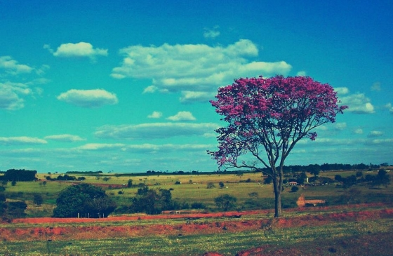 Ipe tree in Brazil